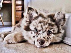 Pomeranian / mini Australian Shepherd. That is stinking adorable!!(: