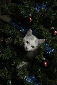 If you live in a house with a cat and you've recently introduced a Christmas tree, then there's a good chance you've encountered one of these lately: cats in Christmas trees. Cat Christmas Tree, Christmas Kitten, Christmas Animals, Christmas Holiday, Kittens Cutest, Cats And Kittens, Cat Celebrating, Celebrating Christmas, Winter Cat
