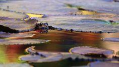 Kaleidoscopish Frog... photo by Chirantanu Saikia