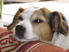 Piet - a Jack Russell