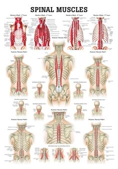Muscles of the Spine Laminated Anatomy Chart psoas release parties Muscle Anatomy, Body Anatomy, Hip Anatomy, Anatomy Of The Neck, Nerve Anatomy, Anatomy Drawing, Anatomy Models, Muscular System, Medical Anatomy