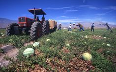 watermelons picking