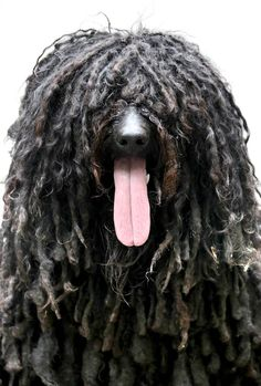 Cousin Itt? A shaggy dog is pictured on a hot day on June 8 in Berlin.--This is a Puli or Pulli