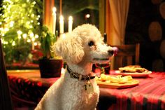 Tobbe the Poodle spending Christmas in Finnish Lapland <3