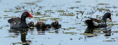 Common Gallinule and chicks.