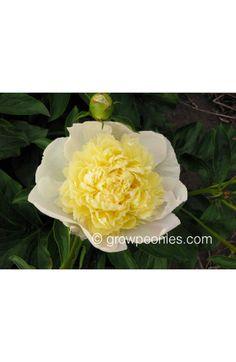 Laura Dessert Peony — Countryside Gardens, Inc. Yellow Peonies, Buy Peonies, Lemon Yellow, Countryside, Bloom, Peony, Flowers, Desserts, Plants