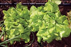 Lettuce growing will be a snap with these helpful tips for choosing, planting, and harvesting. Originally published as