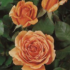 rosita missoni edelrose kaufen bei agel rosen. Black Bedroom Furniture Sets. Home Design Ideas