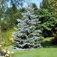 Blågran, 100-125 cm. i klump Picea Pungens Glauca