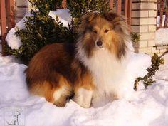 Sheltie at Winter Wonderful Pic...
