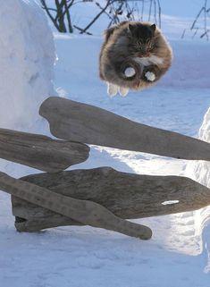 Sämpy tykästyi kovasti kissa-agilityyn, tässä paras hyppy yli ajopuukappaleiden.