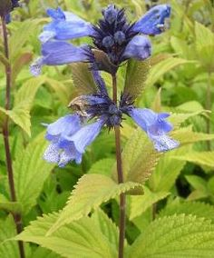Nepeta subsessilis Washfield is a lovely catmint variety with aromatic deep, green foliage. This perennial produces vivid blue flowers continuously throughout the summer, attracting bees and butterfly