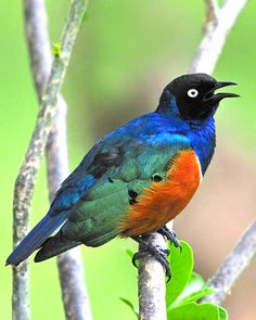 Superb Starling- I first saw this bird while on safari in the Serengeti! gorgeous colors