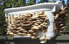 Bulk Liquid Mushroom Culture Mycelium