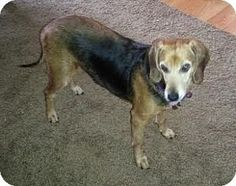 Livonia, MI - Beagle Mix. Meet Lady Dog, a dog for adoption. http://www.adoptapet.com/pet/11642070-livonia-michigan-beagle-mix