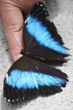 Butterfly World Fl. Blue Morph From the butterfly lady.