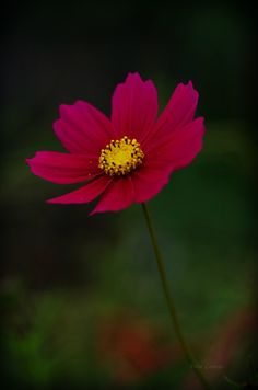 Cosmos flower Cosmos Flowers, Flowers Nature, Wild Flowers, Beautiful Flowers Wallpapers, Beautiful Nature Wallpaper, Blossom Garden, Blossom Flower, Flower Games, Flower Wallpaper