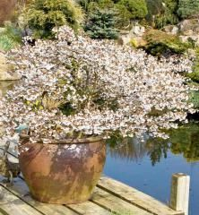Fuji Cherry (Prunus incisa Kojo-no-mai) - Suttons Seeds and Plants Evergreen Shrubs, Trees And Shrubs, Trees To Plant, Garden Cafe, Garden Pots, Potted Garden, Johnstown Garden Centre, Sutton Seeds, Buy Christmas Tree