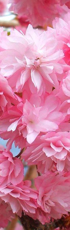 Cherry Blossom, Scotland