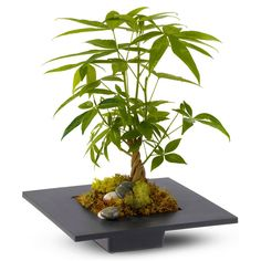 Money Tree - May Bring Good Luck, Good Fortune, and Prosperity - The Green Head