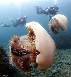 Nomura jellyfish: Água-viva de Nomura