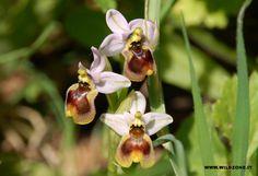 #Orchidea Ofridi vespa (Ophrys tenthredinifera) Sardegna