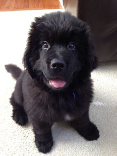 Our Newfoundland puppy Boone- 11 weeks old