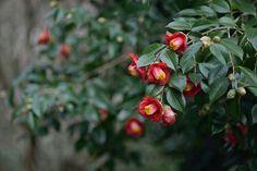 Camellia japonica | myu-myu | Flickr