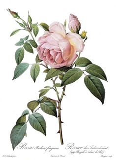 """1990 Vintage REDOUTE ROSE """"TEA SCENTED ROSE OF INDIA CHINA"""" COLOR Art Lithograph"""