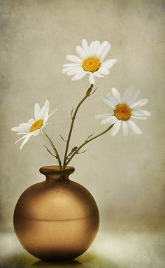 "lejardindutemps: "" Ox-eye daisies """