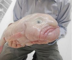 The blobfish (Psychrolutes marcidus) is a deep sea fish of the family Psychrolutidae. Inhabiting the deep waters off the coasts of mainland Australia and Tasmania, it is rarely seen by humans. Blobfish live at depths between m ft) wh Bizarre Animals, Ugly Animals, Unusual Animals, Rare Animals, Ugliest Animals, Pink Animals, Interesting Animals, Interesting Facts, Scary Sea Creatures