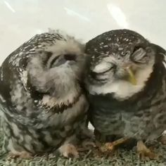 cute credit ig ikefukurou cafe thank you very much simple 60 sec habit that reversed 716987203155822 Funny Animal Photos, Cute Animal Videos, Cute Funny Animals, Cute Baby Animals, Animal Memes, Animals And Pets, Cute Cats, Funny Owls, Cute Owl