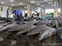 This is what Japan does to dolphins. Stop the slaughter www.seashepard.org  BOYCOTT JAPAN