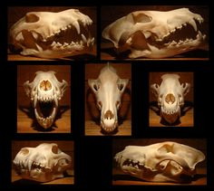 wolf skull reference - Google Search