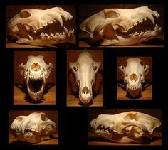 wolf_skull_by_rgstock777.jpg (943×847)