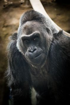Born in 1956 at the Columbus Zoo and Aquarium, Colo, the oldest gorilla in the world, celebrates her 60th birthday on December 22, 2016.