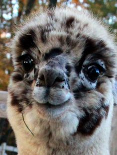 My spirit animal. harlequin appaloosa alpaca