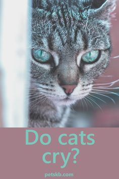 Do cats get sad enough to produce tears? Find out if cats can cry here Information About Cats, Cat Info, Cat Crying, Cat Years, Cat Diet, Cat Body, What Cat, Cat Care Tips, Cat Facts