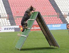 Este mes vamos a conocer una modalidad de competición deportiva canina con mucha antigüedad: el IPO (Internationale Prüfungs Ordnung), frase en lengua alemana que podríamos traducir por examen del reglamento internacional.