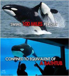 Se você pensar sobre isso, não é diferente de estar na cela, exceto que você tem centenas de pessoas torcendo por você para andar em círculos.  Compartilhe esta imagem se você concorda orcas deve ser livre!