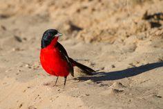 Rotbauchwürger in Südafrika Safari, Animals, Animales, Animaux, Animal Memes, Animal, Animais, Dieren