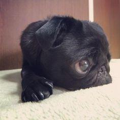 Baby black pug. I WANT ONE!!!