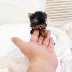 Ele é tão pequeno que cabe na palma da mão