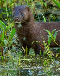 Mink are predators that like otters hunThey belong to the mustelid family, which includes mink, otters, ferrets, and badgers.