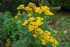 tansy plant at DuckDuckGo Beneficial Insects, Thomas Jefferson, Garden Seeds, Medicinal Plants, Korn, Roots, Herbalism, Mandala, Herbs