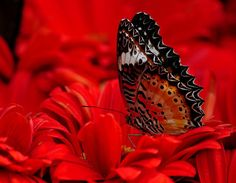 butterfly and flowers Butterfly Kisses, Butterfly Flowers, Butterfly Wings, Beautiful Butterflies, Red Flowers, Beautiful Flowers, Butterfly Quotes, Calming Pictures, Colors Of Fire