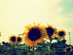 Always love sunflowers. Big and bold and yellow.