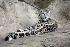 """Behold the tail.  """"Snow leopard Kailash, born 2010-05-05, Zurich Zoo.""""  Wikimedia Commons."""