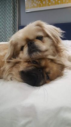 best photos, pictures and images about pekingese dog - oldest dog breeds Yorkies, Pekingese Puppies, Maltese Dogs, Chihuahua Dogs, Animals And Pets, Baby Animals, Funny Animals, Cute Animals, Cute Puppies