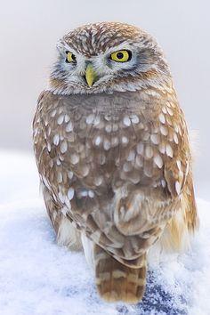 Little owl in the snow © robert-dcosta